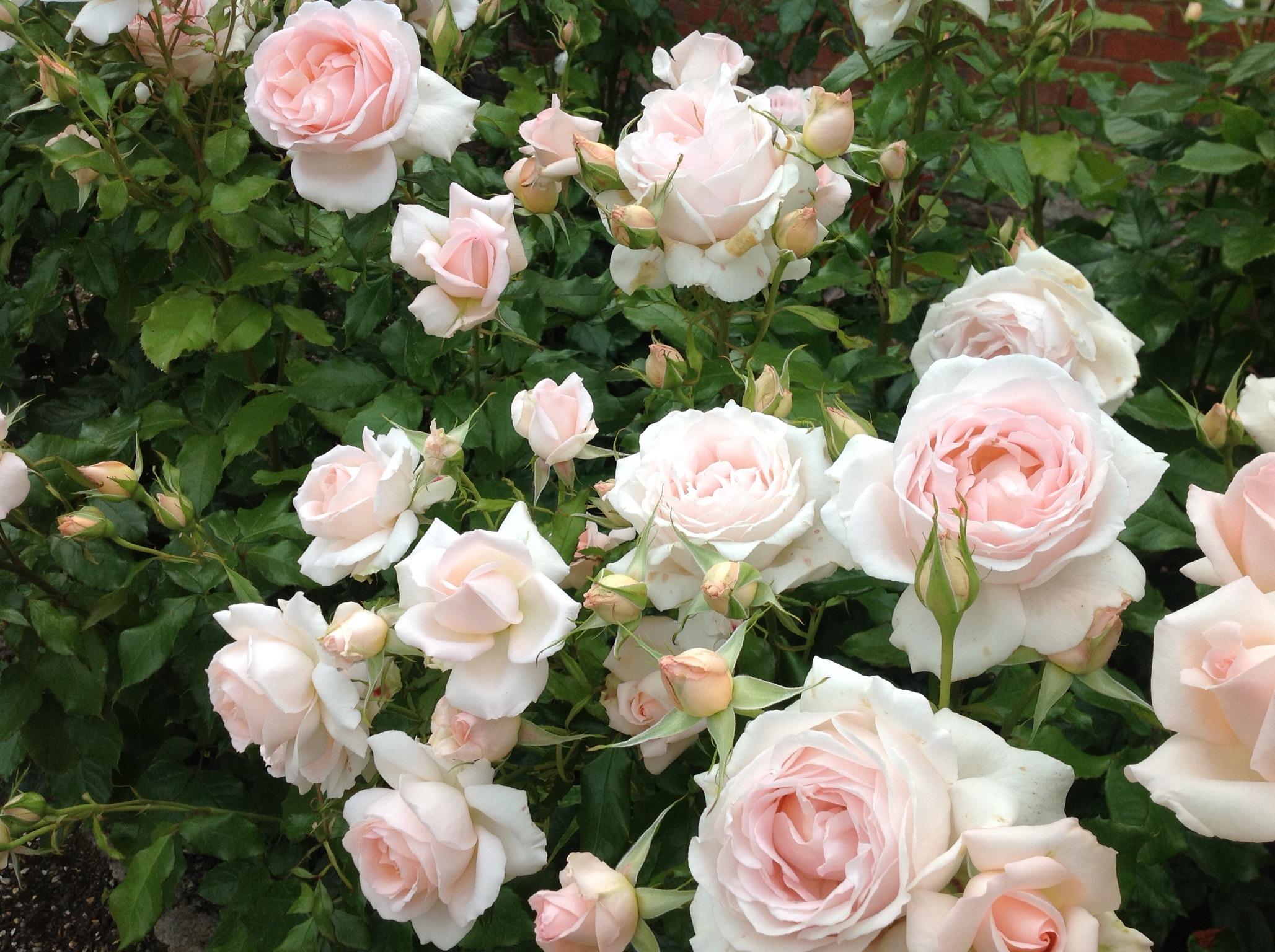 Cả một vườn hoa hồng trắng hồng