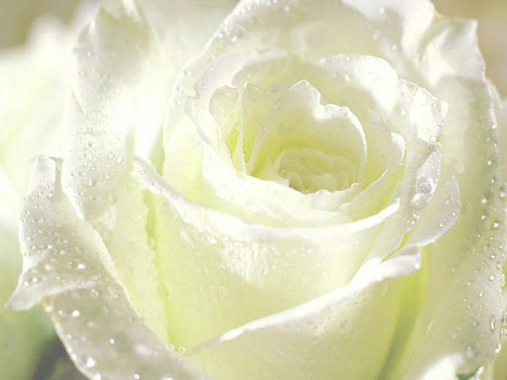 Cận cảnh bông hồng trắng đọng nước mưa