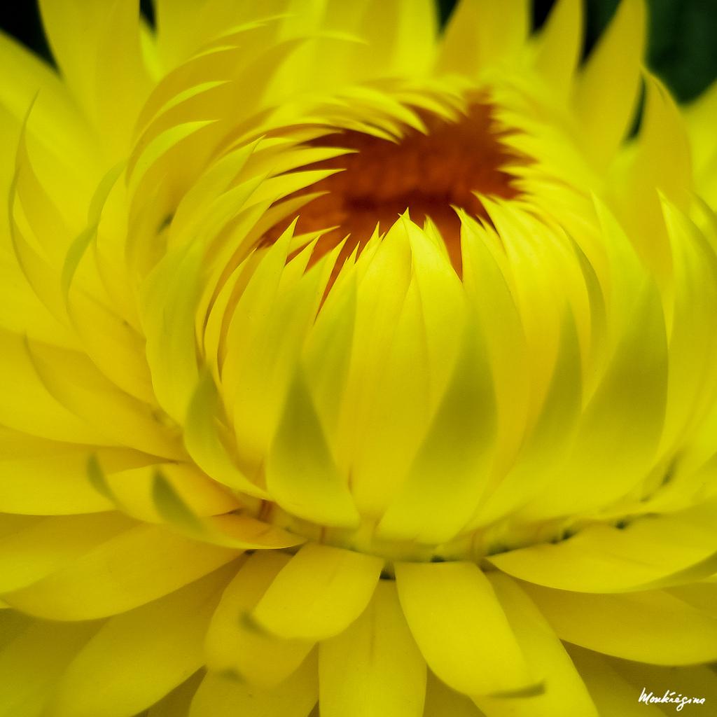 Cận cảnh hoa bất tử màu vàng cực đẹp