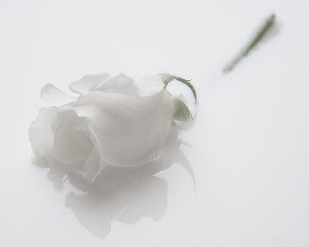 Cánh hoa hồng trắng như sữa