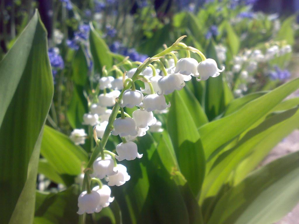 Cành hoa lan chuông dưới ánh nắng