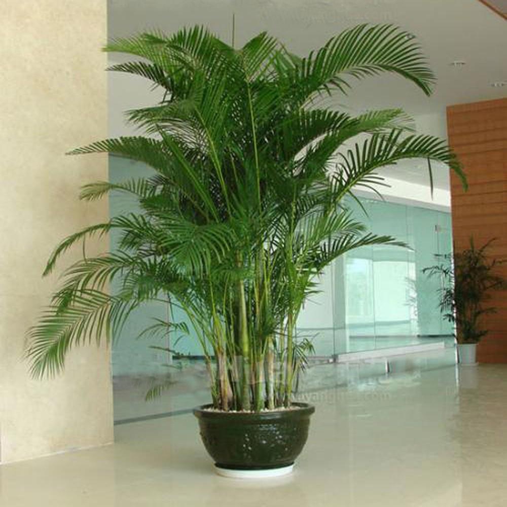 Cây dừa cảnh trồng trong chậu cây