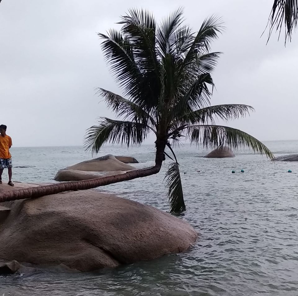 Cây dừa mọc rất lạ trên mỏm đá