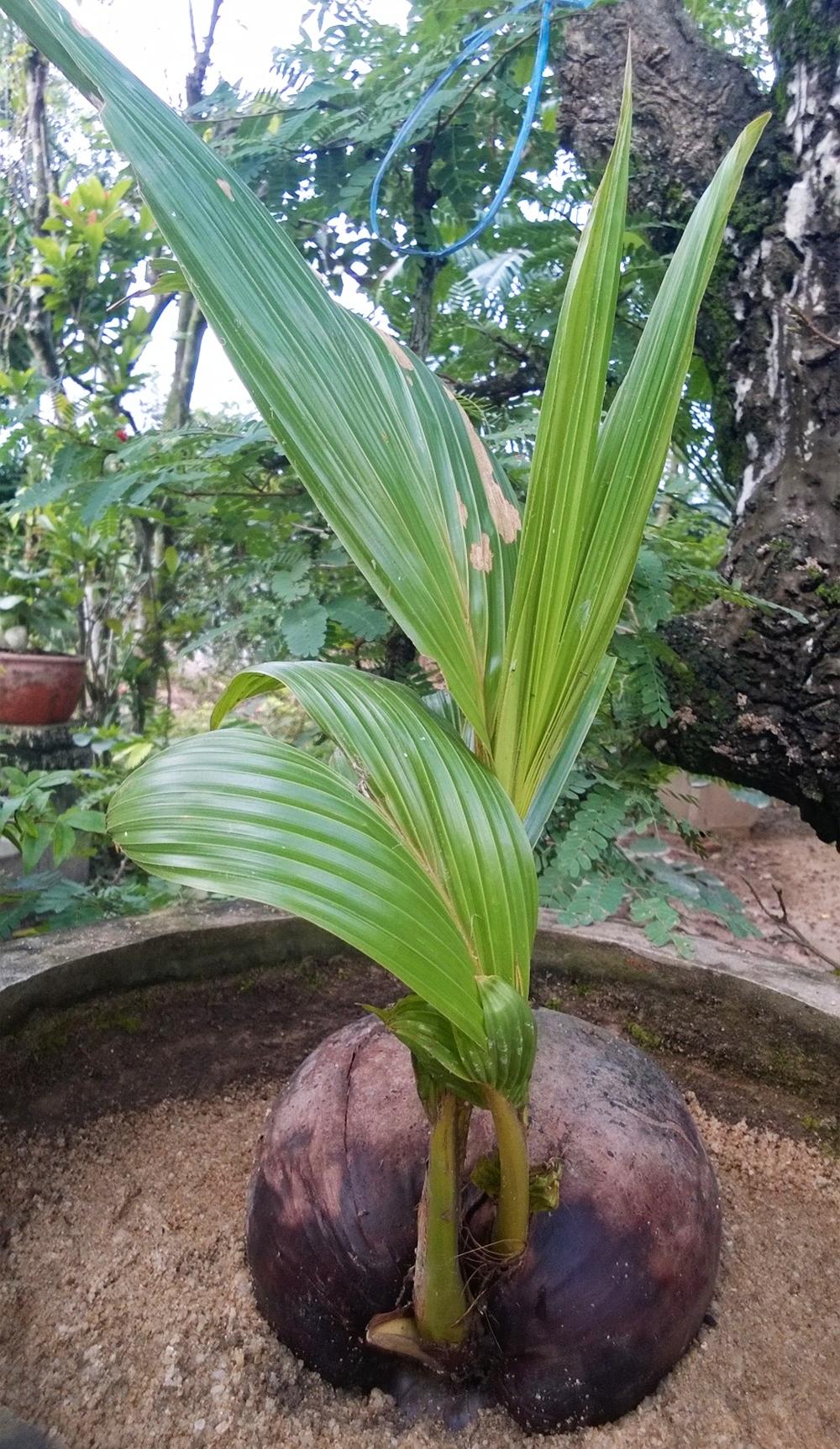 Cây dừa mới mọc cực đẹp