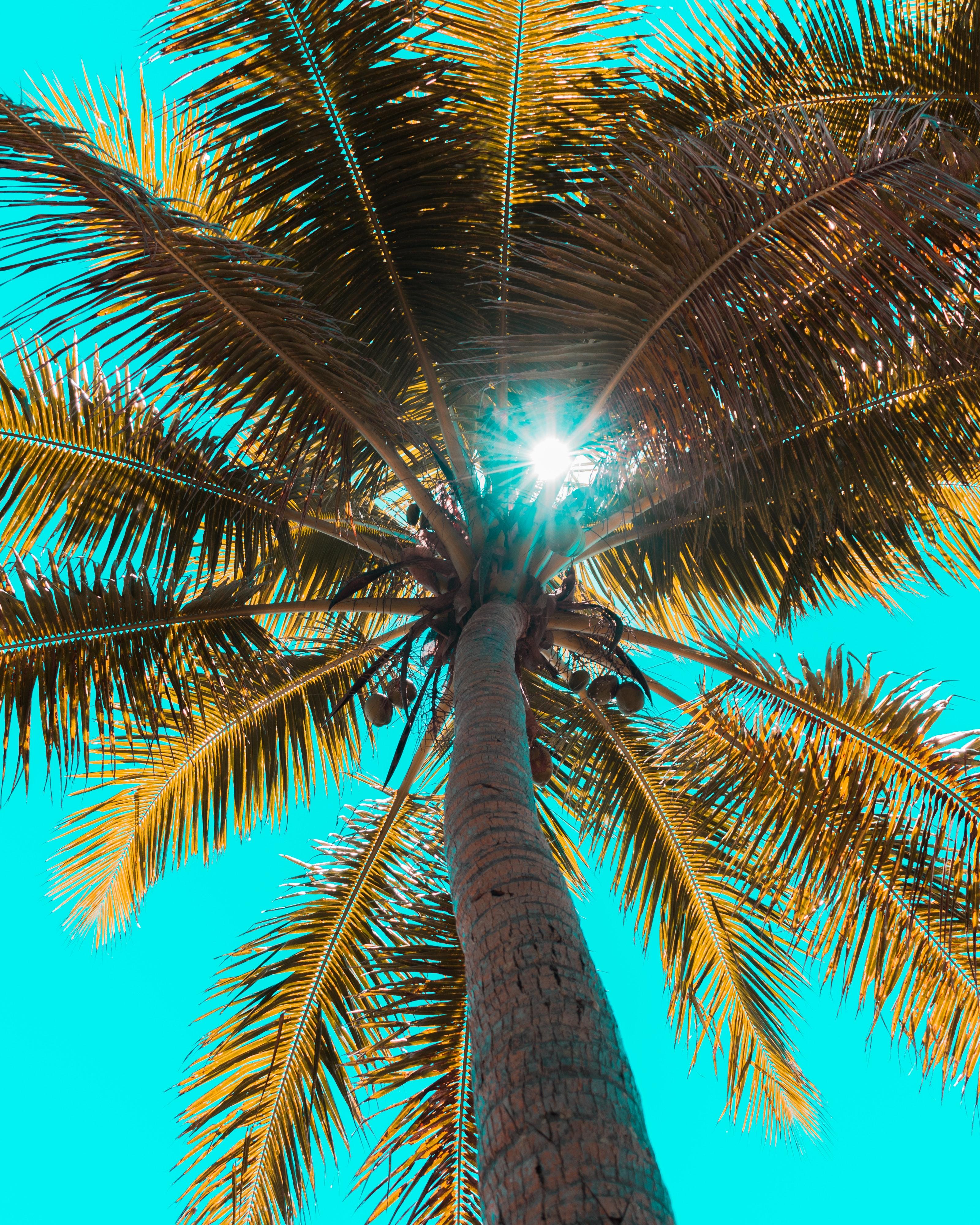 Cây dừa nhìn từ dưới lên trên tán rộng