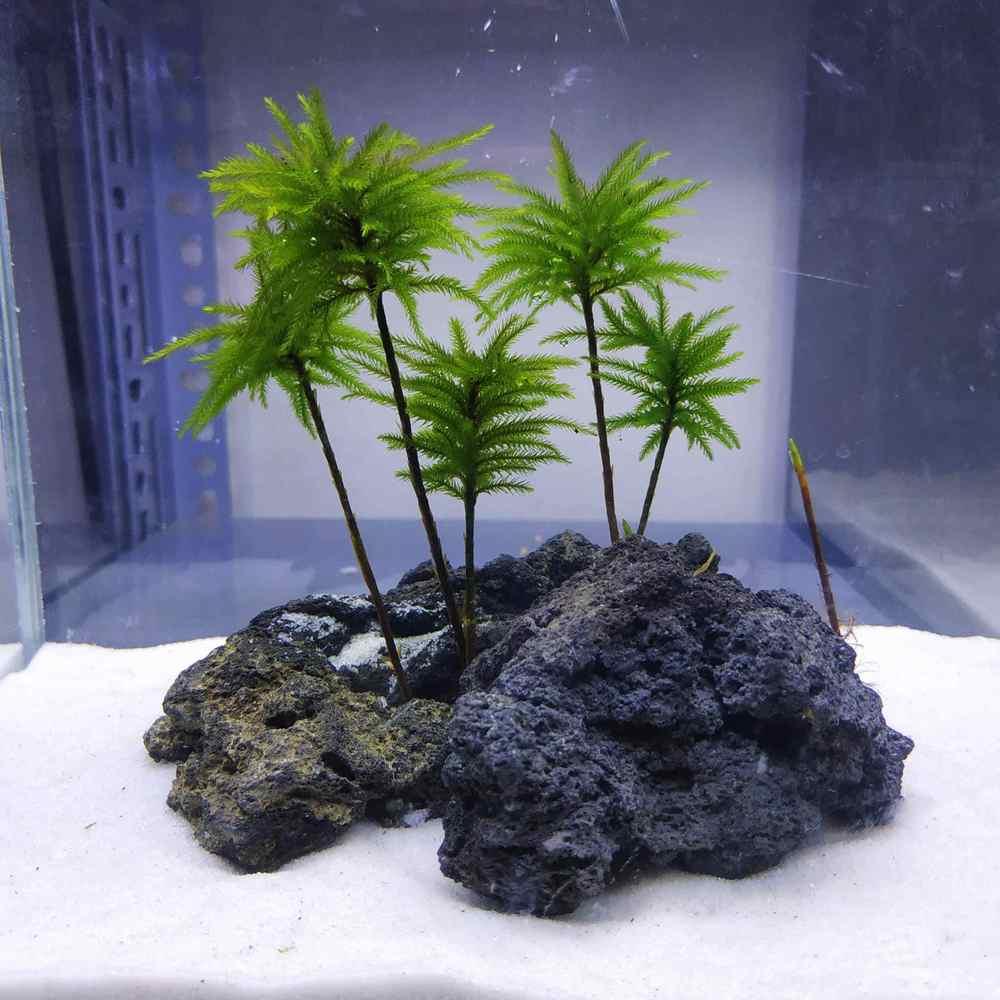 Cây đừa thủy sinh nhỏ xinh cực đẹp