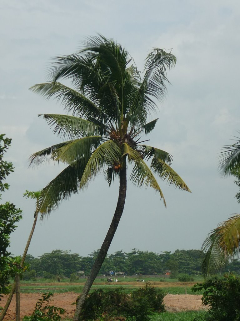 Cây dừa uốn cong vươn lên trời
