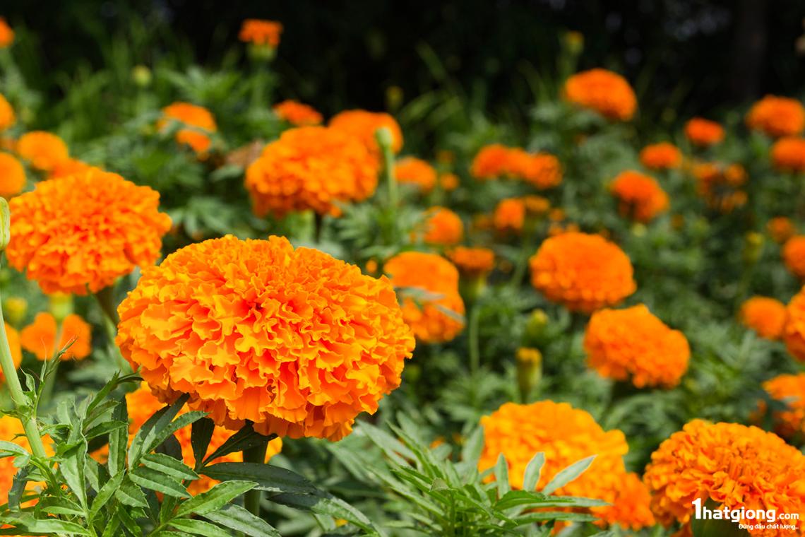 Cây hoa cúc vạn thọ màu cam cực đẹp