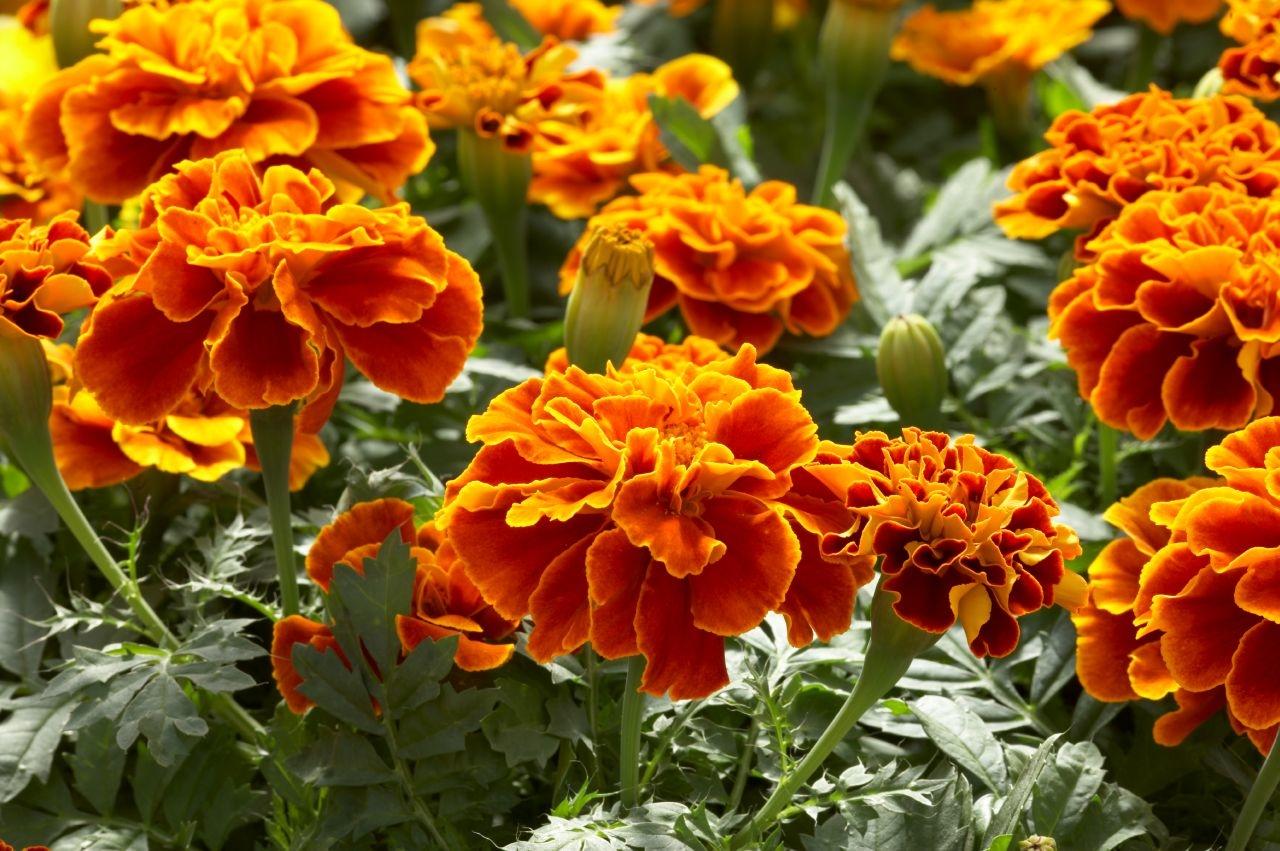 Cây hoa cúc vạn thọ màu cam viền vàng cực đẹp