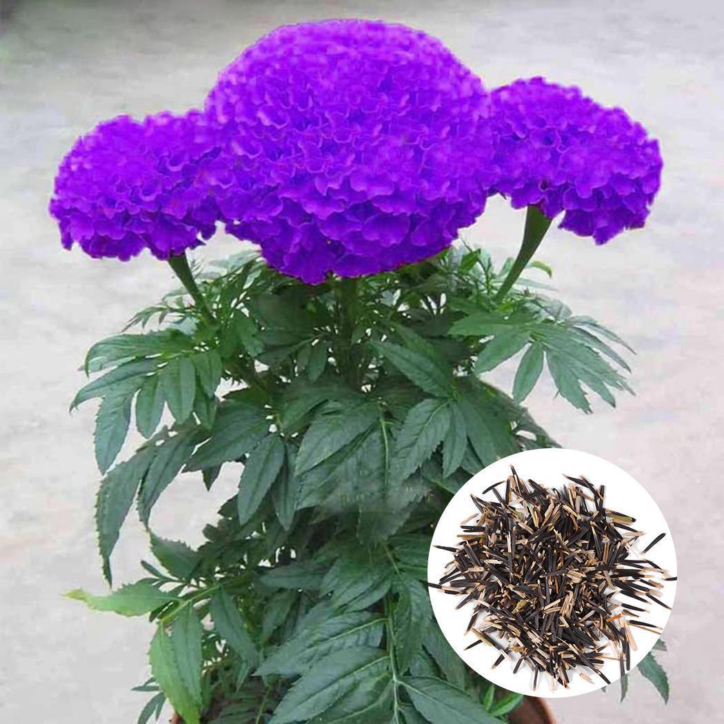 Cây hoa cúc vạn thọ màu tím rất đẹp