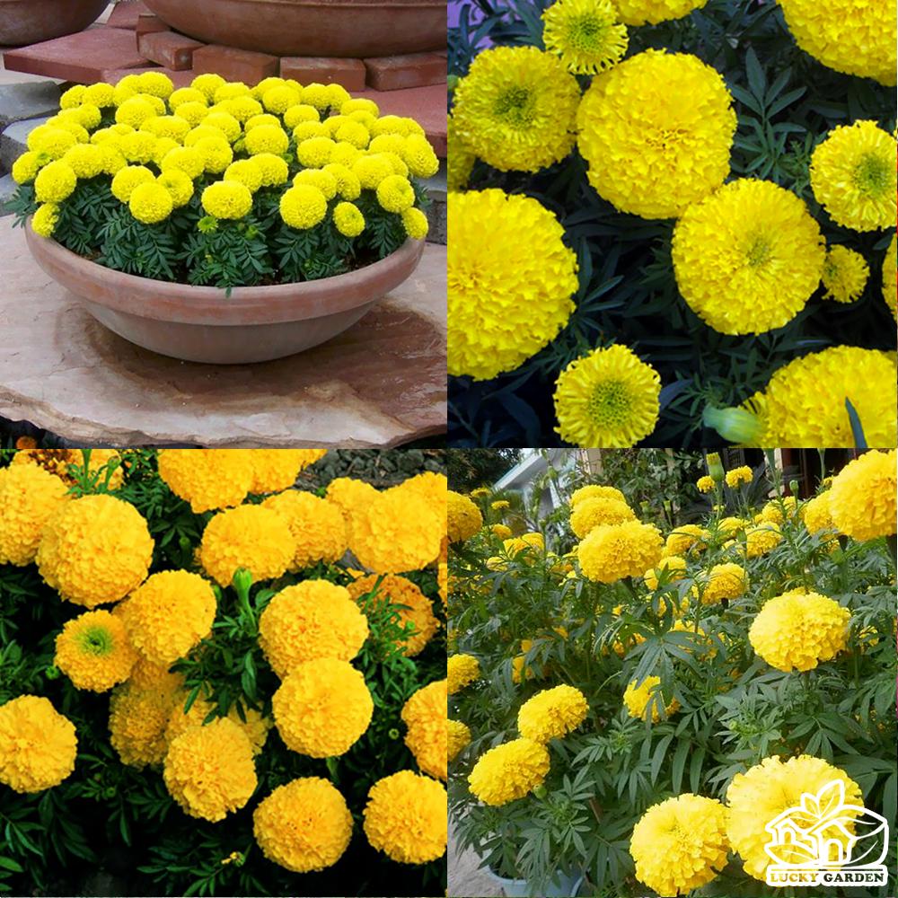 Cây hoa cúc vạn thọ màu vàng cực đẹp