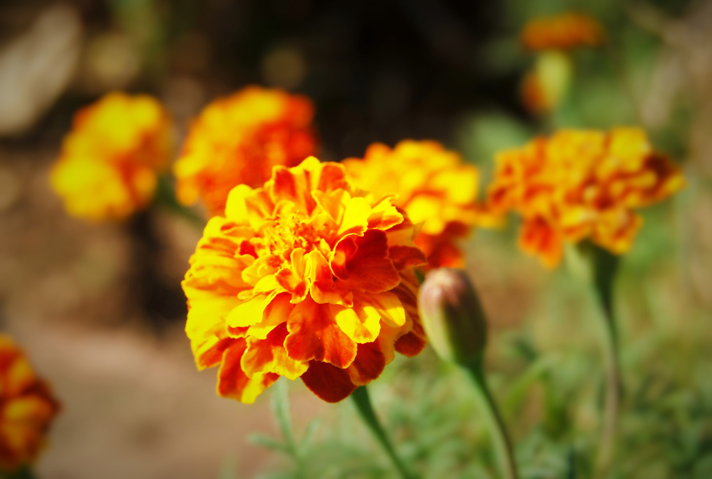 Cây hoa cúc vạn thọ rất đẹp