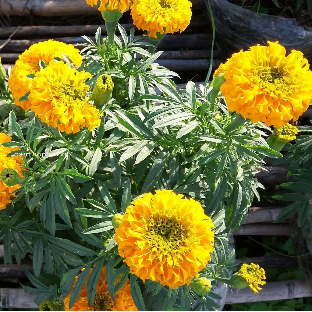 Cây hoa cúc vạn thọ vàng cực xinh