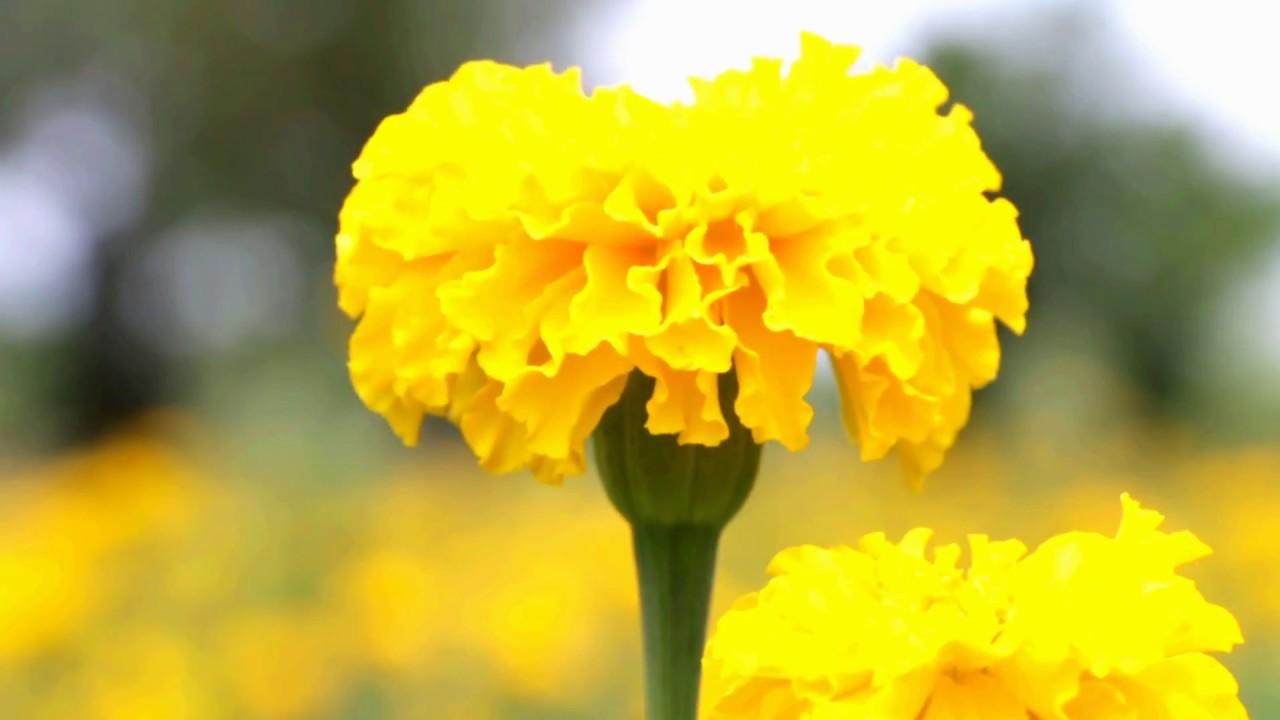 Cây hoa cúc vạn thọ vàng đẹp