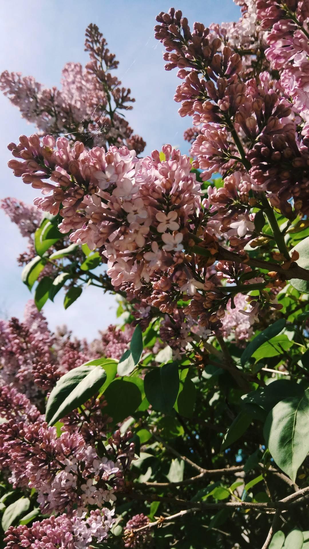 Cây hoa dưới nắng cây tử đinh hương