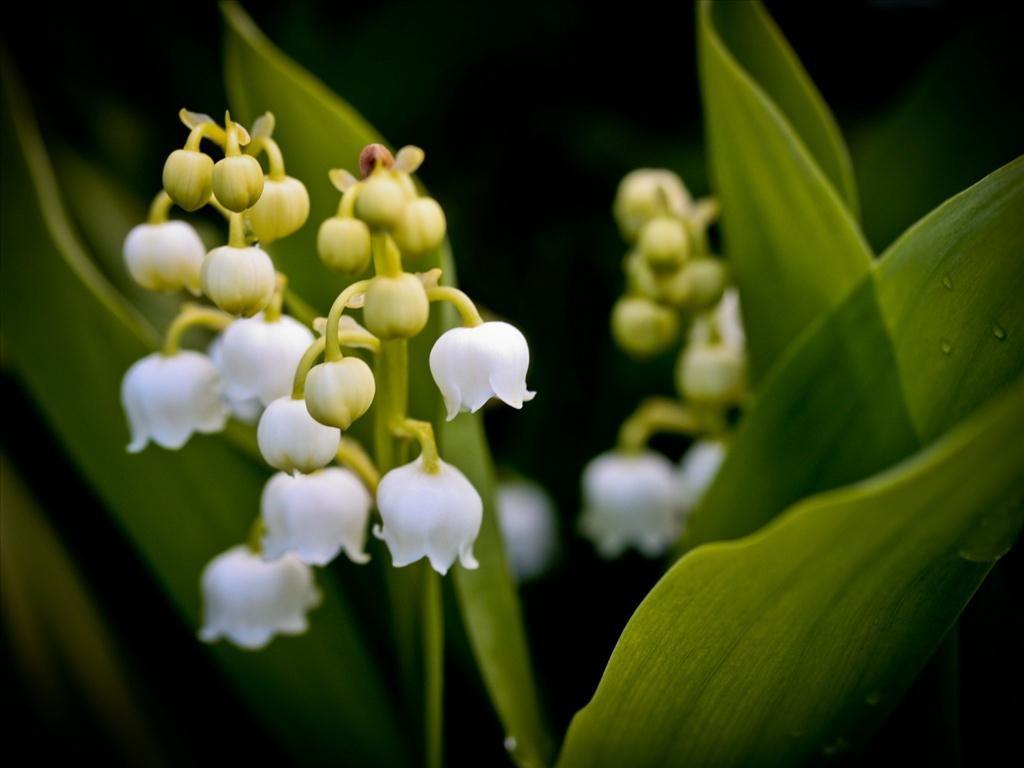 Cây hoa lan chuông trắng xinh đẹp