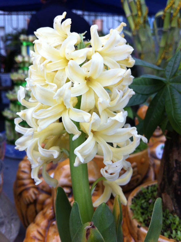 Cây hoa tiên ông trắng cực đẹp