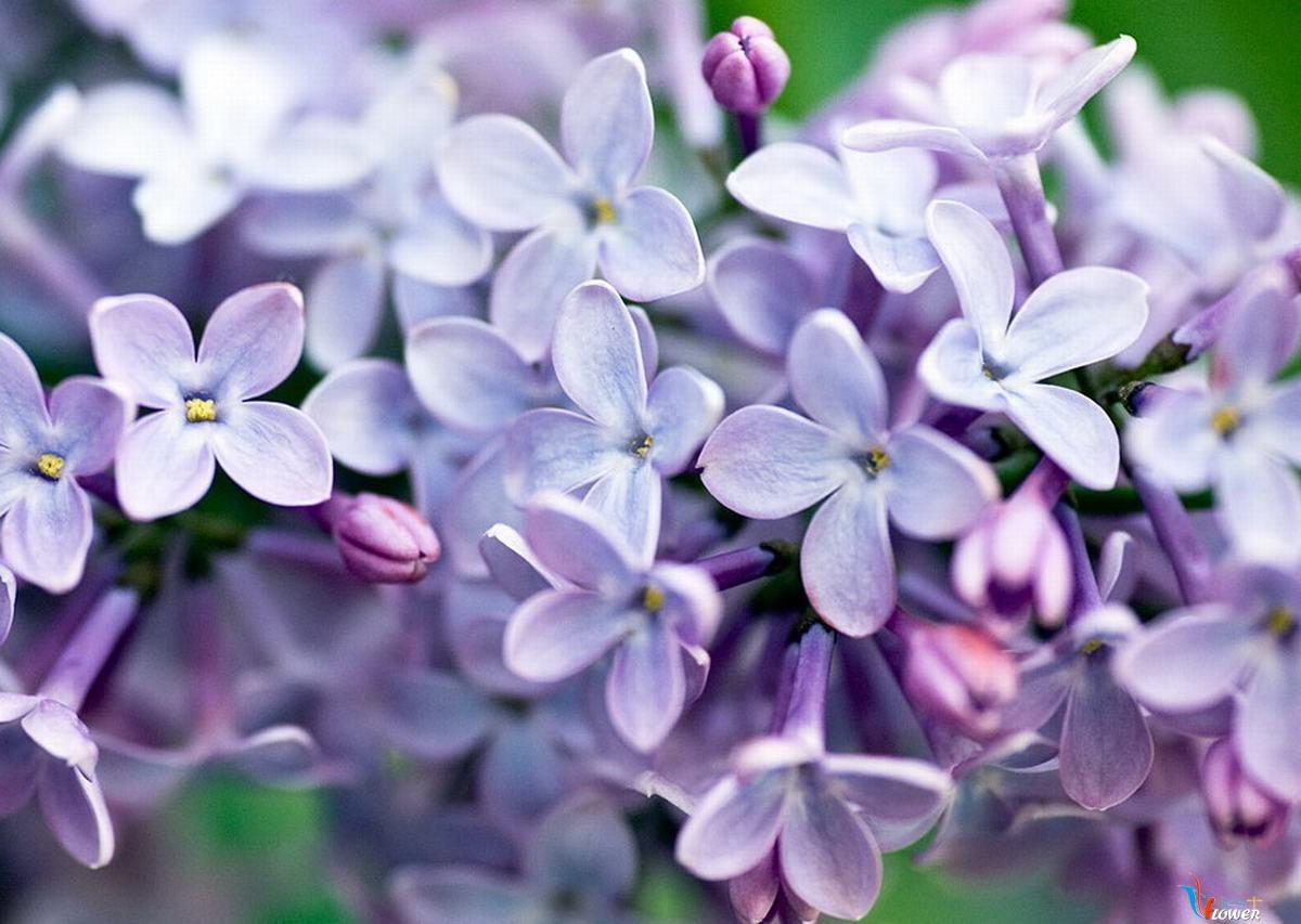 Cây hoa tử đinh hương cực đẹp