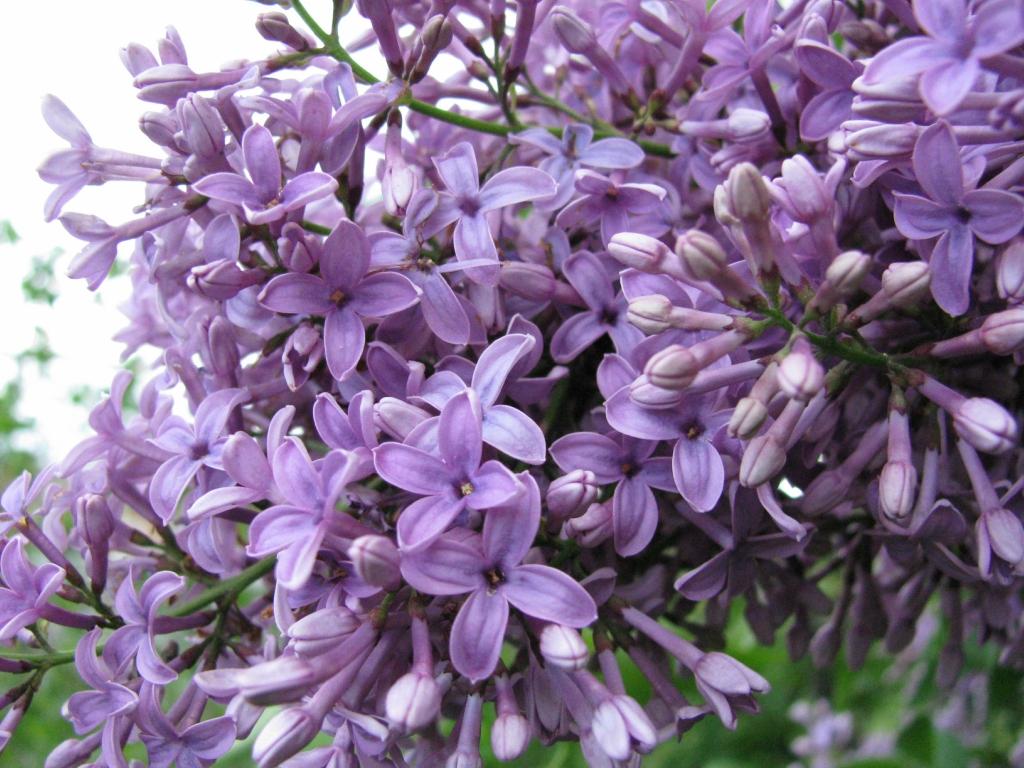 Cây hoa tử đinh hương nở hoa tím cực đẹp