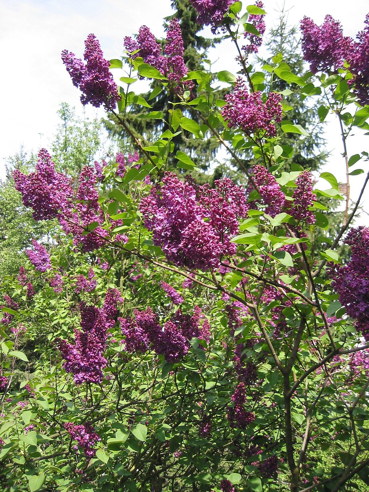 Cây hoa tử đinh hương nở hoa tím dưới nắng