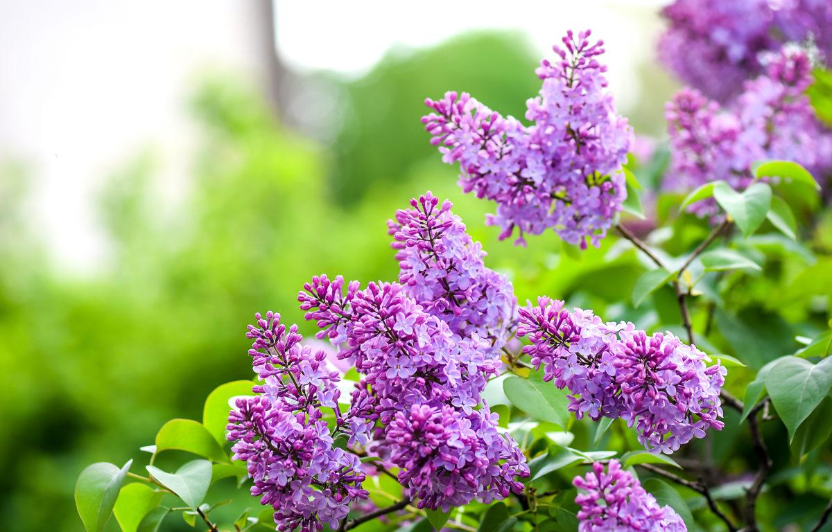 Cây hoa tử đinh hương rất đẹp