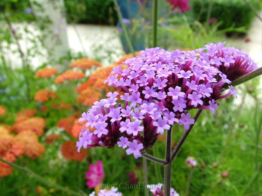 Cây hoa tử đinh hương tím đẹp