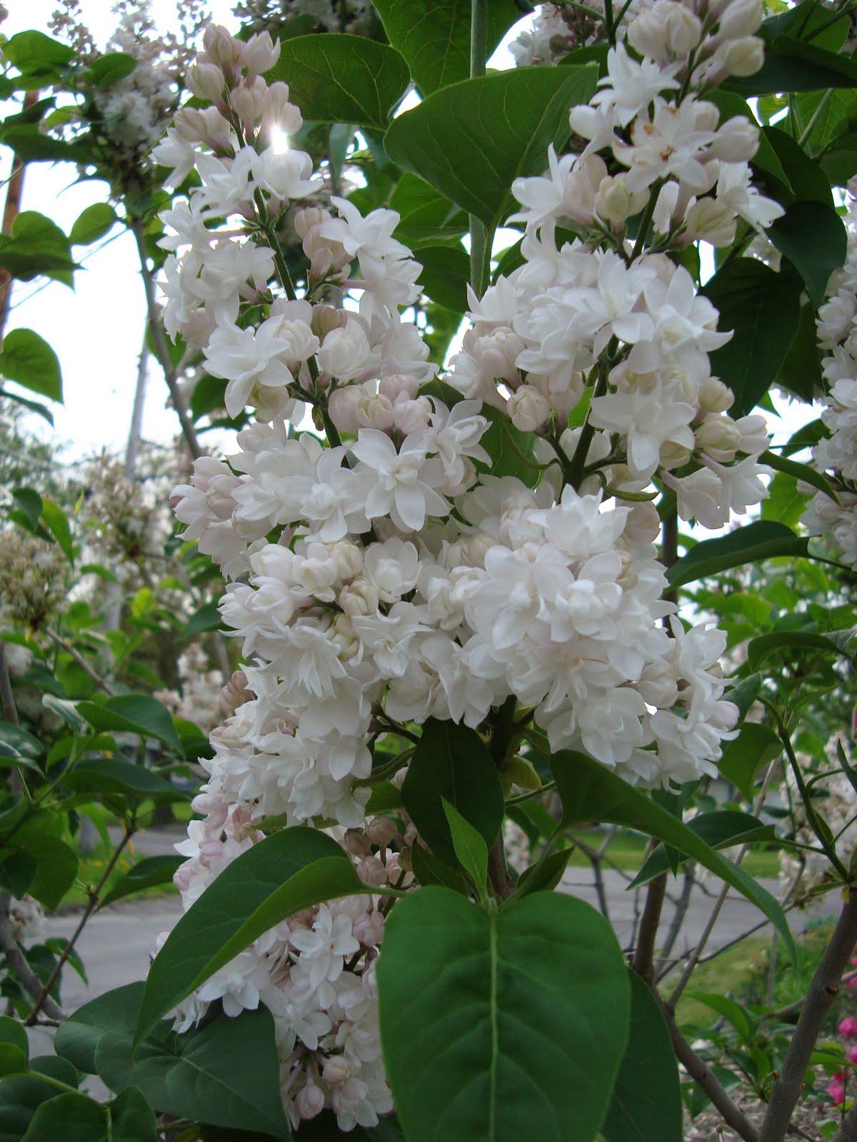 Cây hoa tử đinh hương trắng đẹp