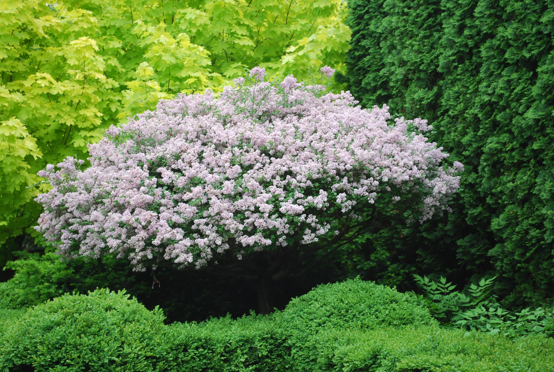 Cây tử đinh hương nở hoa rậm rạp cực đẹp