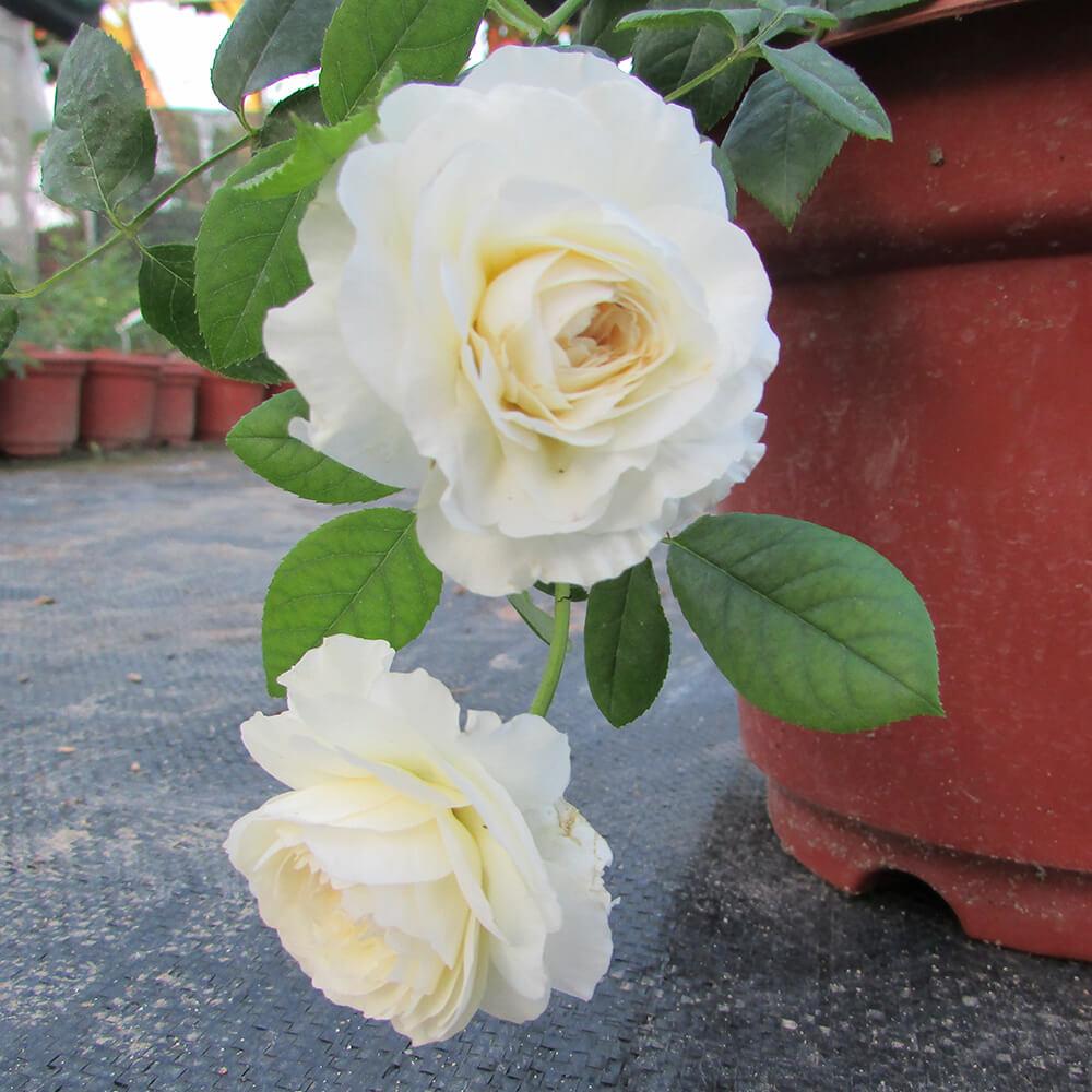 Chậu chồng hoa có hai bông hồng trắng cực đẹp