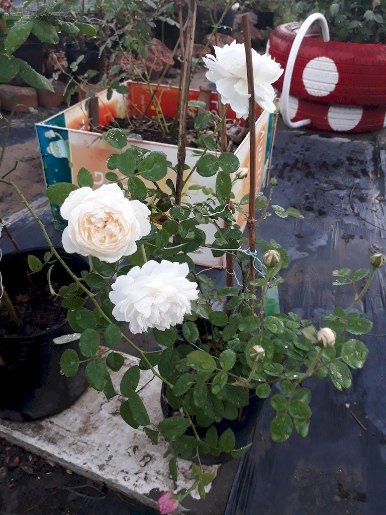 Chậu hoa hồng trắng Glamis Castle cực kỳ đẹp