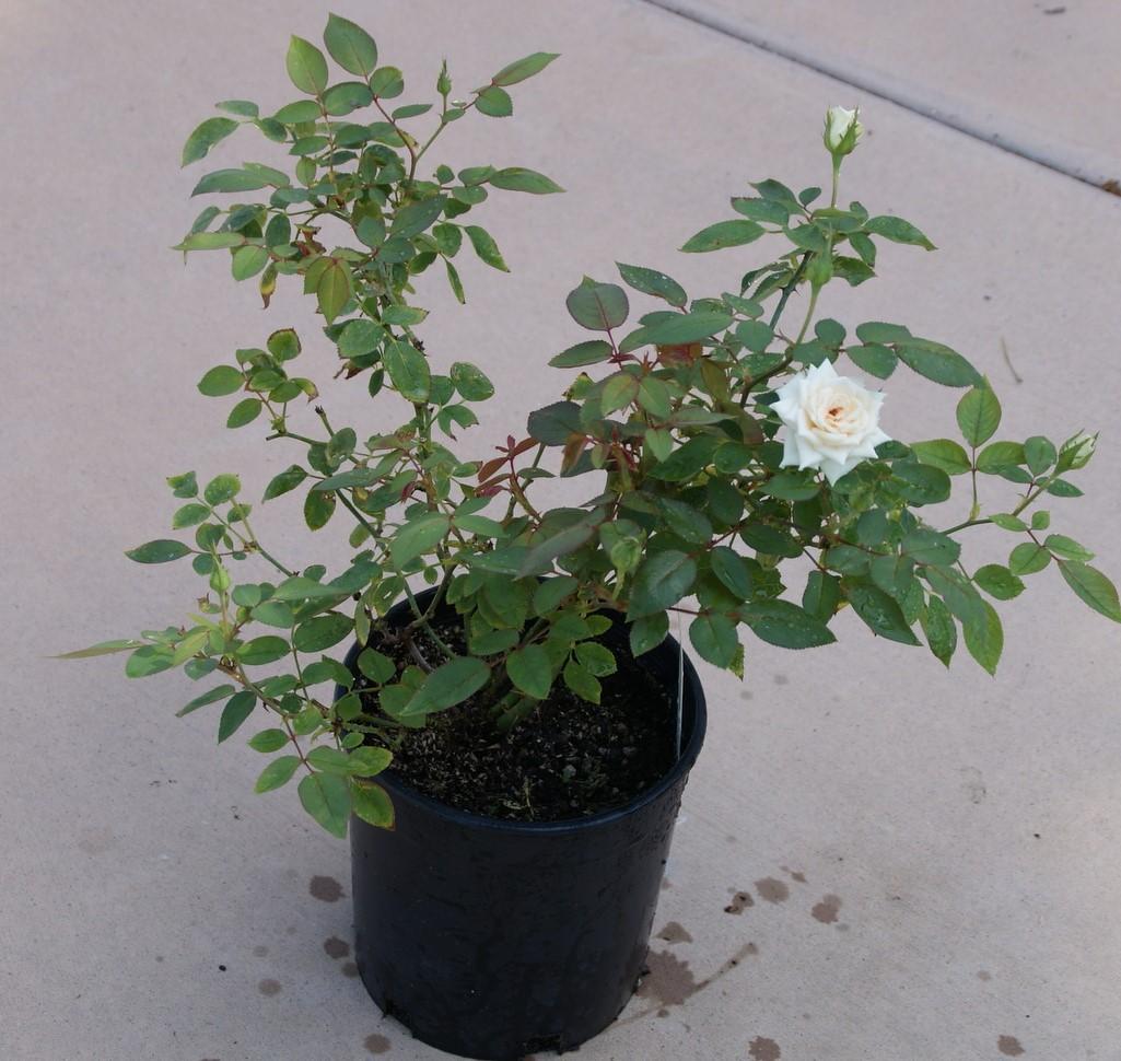 Chậu hoa hồng trắng mới nở một bông