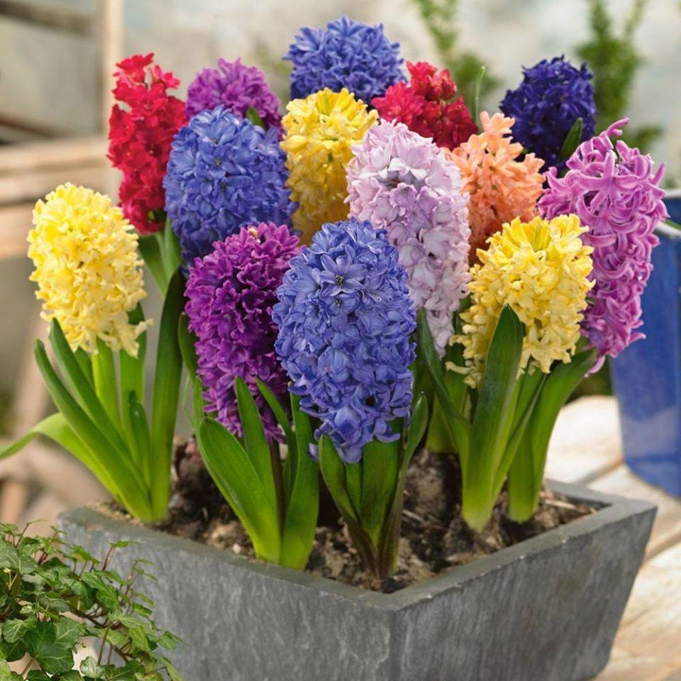 Chậu hoa tiên ông nhiều màu sắc cực xinh