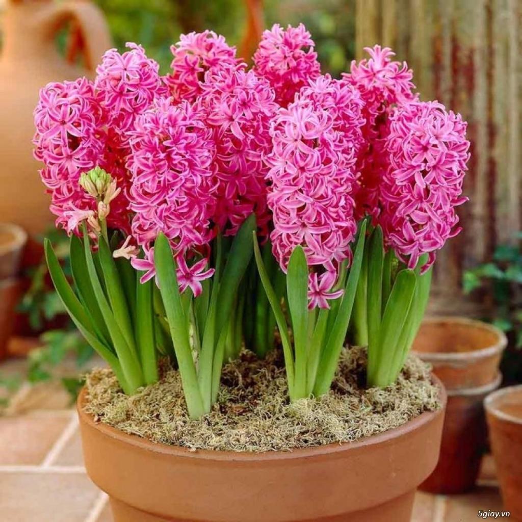 Chậu hoa tiên ông những cây màu hồng cực đẹp