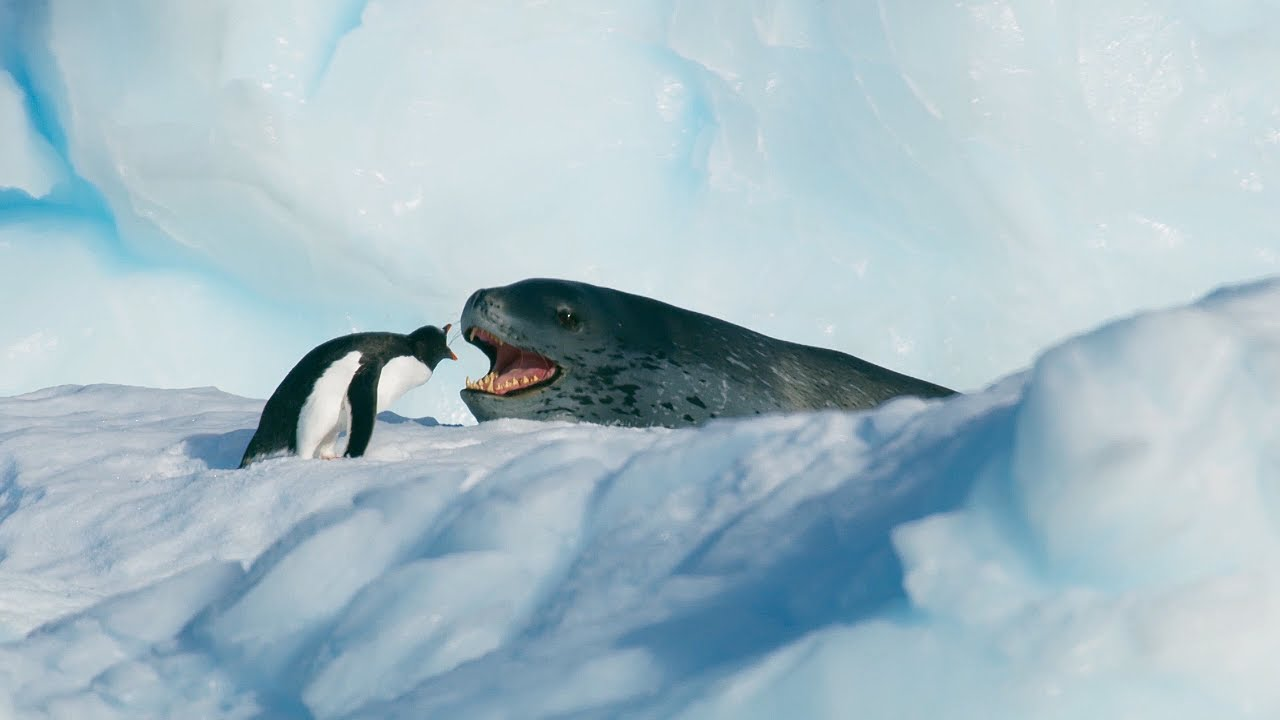 Chim cánh cụt cãi nhau với sư tử biển