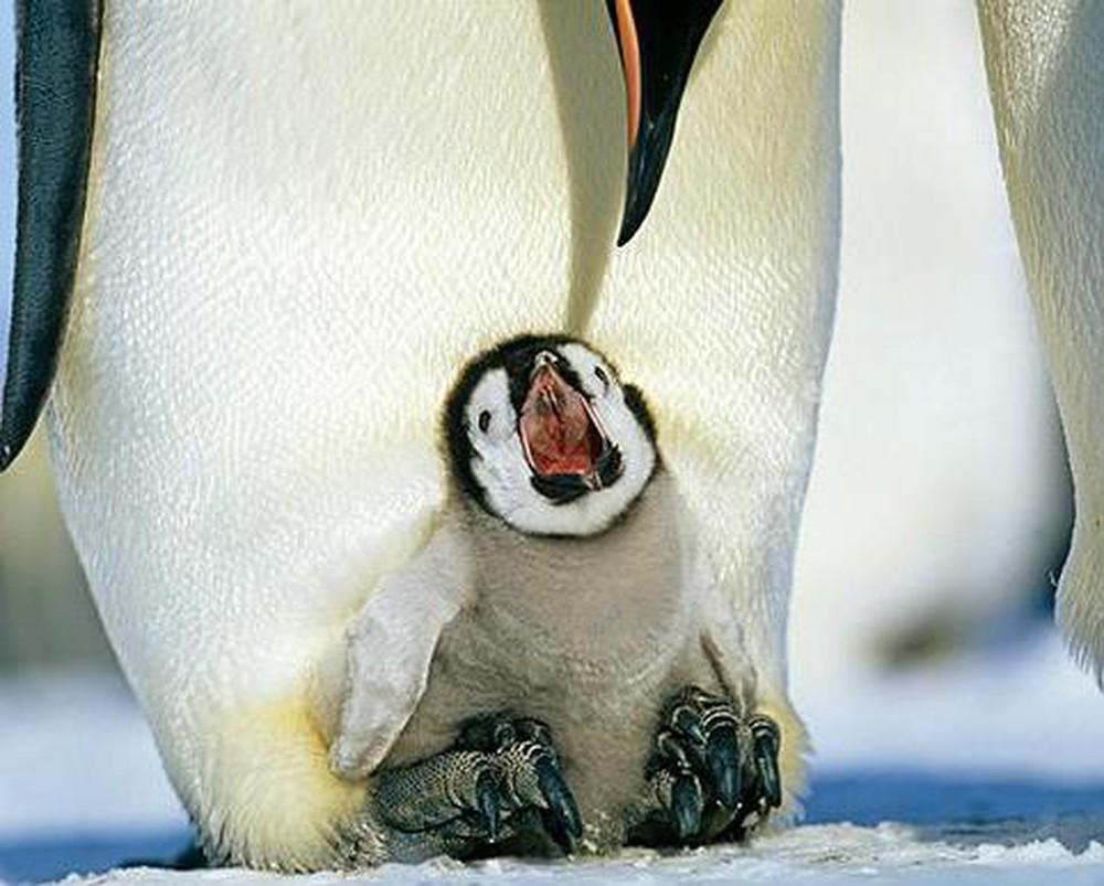 Chim cánh cụt non há miệng chờ ăn