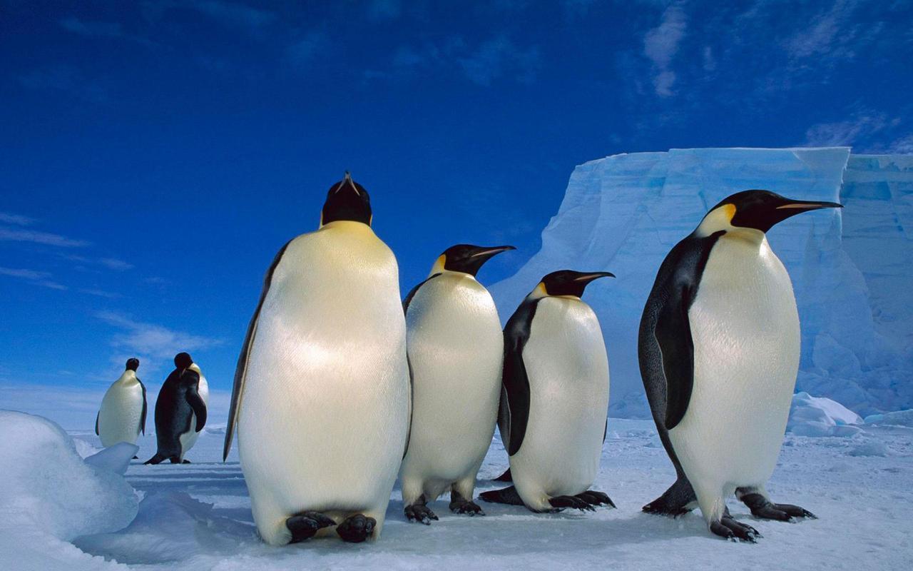 Chim cánh cụt thành nhóm đứng với nhau