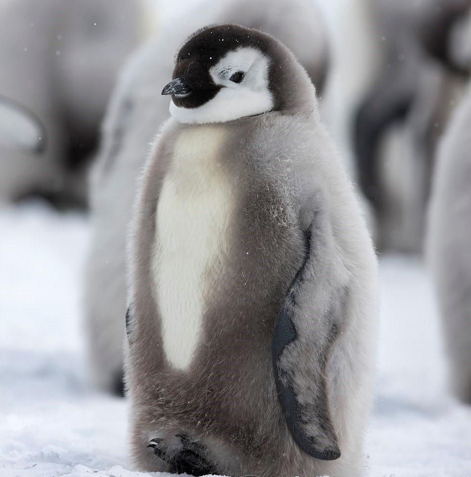 Chú chim cánh cụt con nhìn cute dễ thương