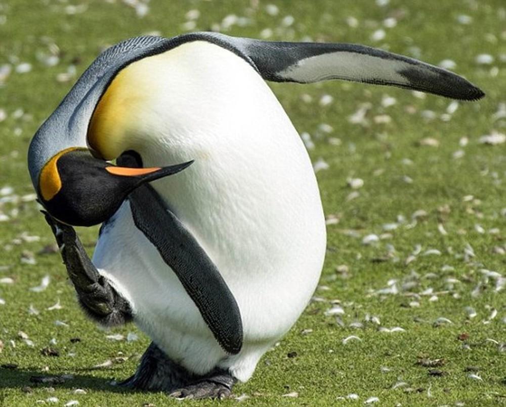 Chú chim cánh cụt gãi đầu