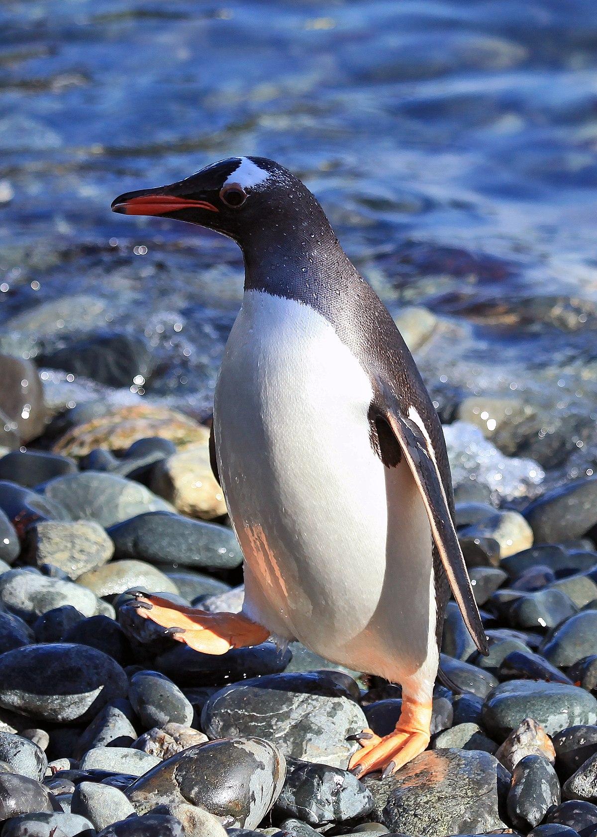 Chú chim cánh cụt Gentoo