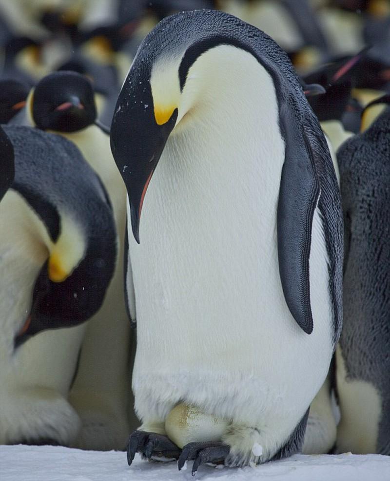 Chú chim cánh cụt hoàng đế đang ấp trứng