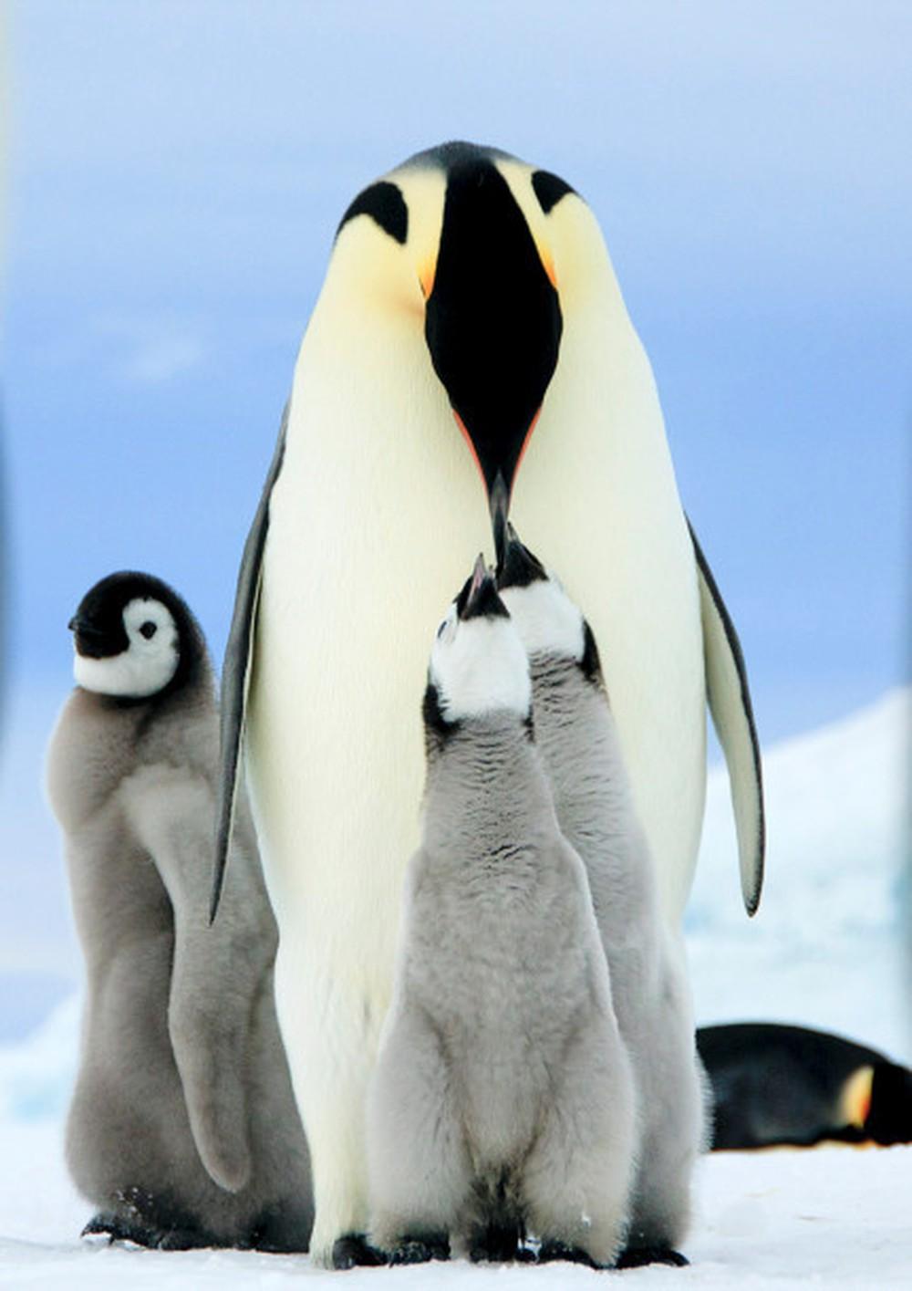 Chú chim cánh cụt lớn mớm mồi cho con non