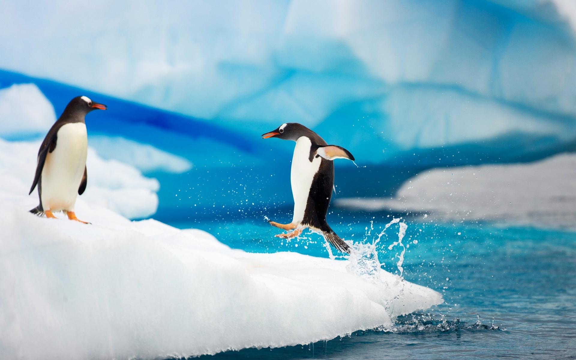 Chú chim cánh cụt nhảy từ mặt nước lên bờ