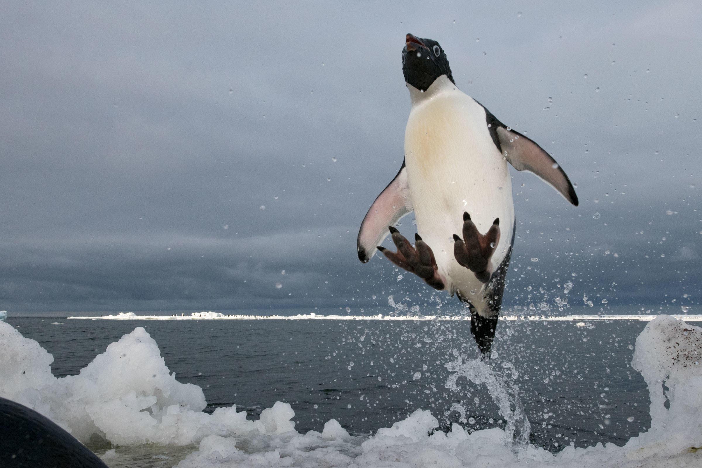 Chú chim cánh cụt vọt lên khỏi mặt nước