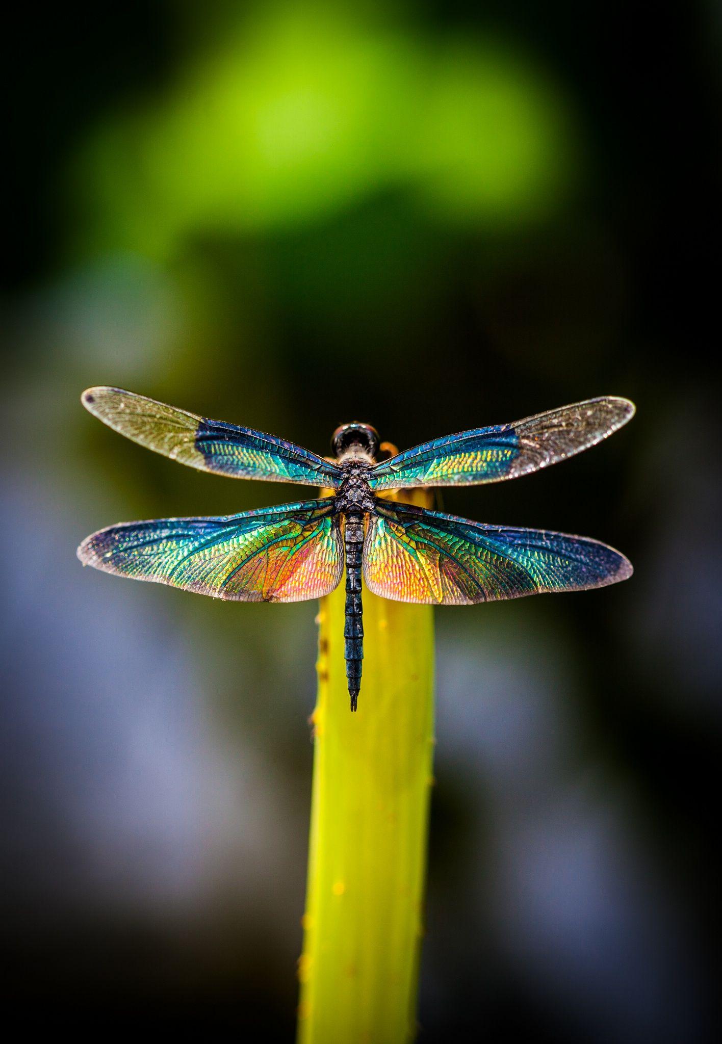 Chú chuồn chuồn có đôi cánh sặc sỡ