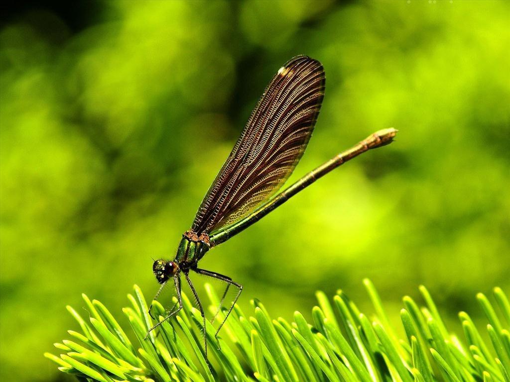 Chuồn chuồn cánh đen đẹp mắt cực kỳ