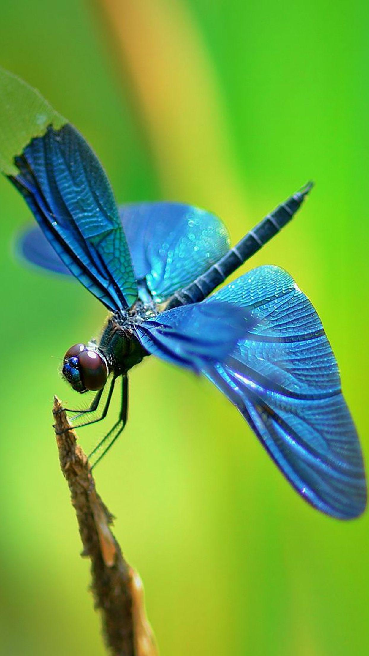 Chuồn chuồn cánh xanh cực xinh đẹp