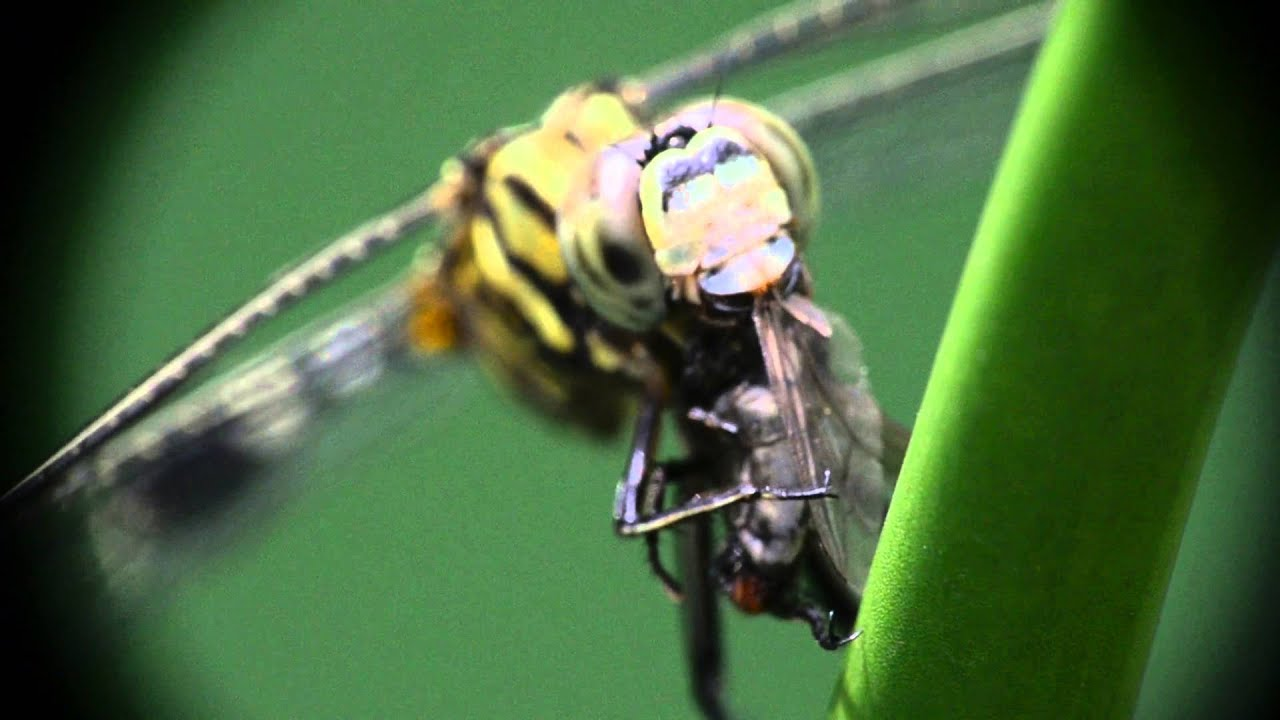 Chuồn chuồn đang săn mồi ăn ruồi