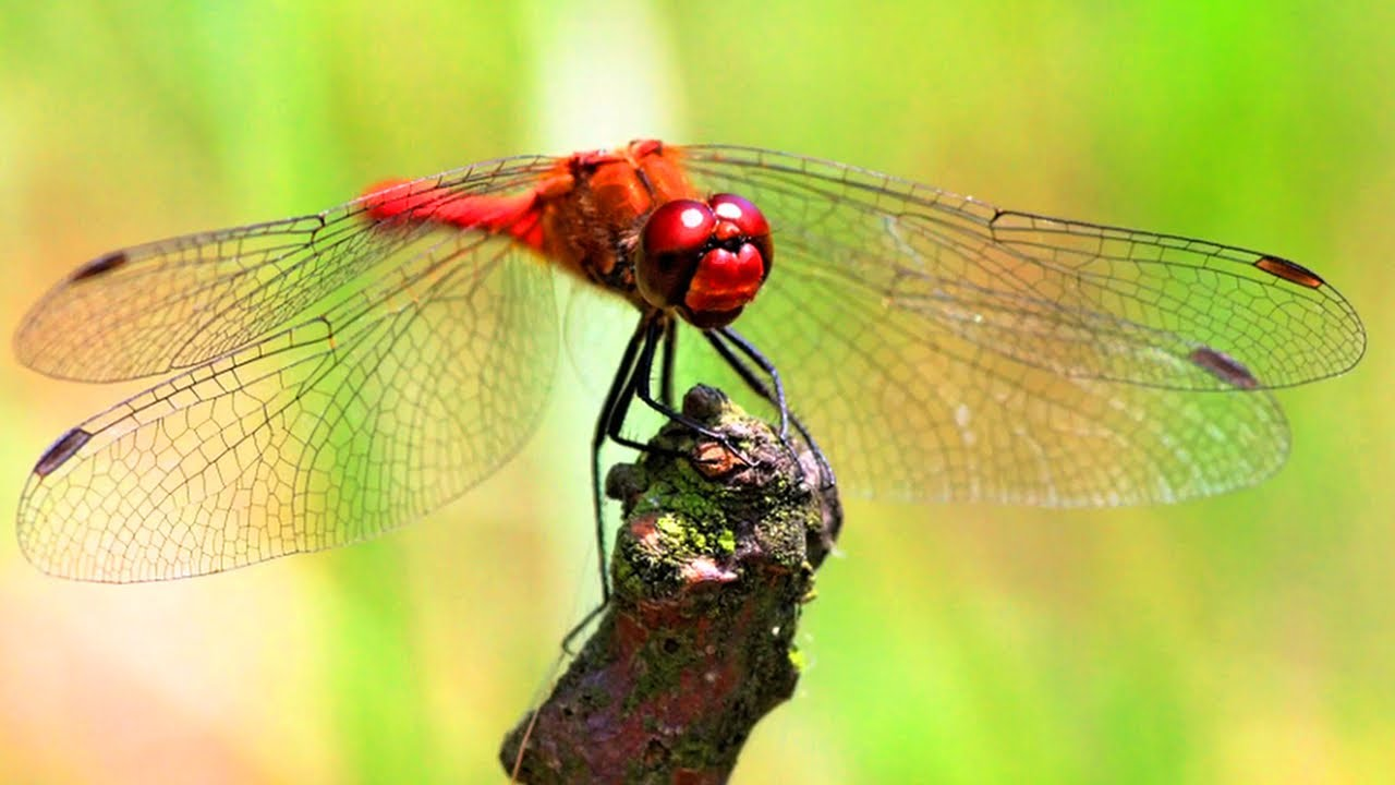 Chuồn chuồn đỏ bám vào mẩu gỗ