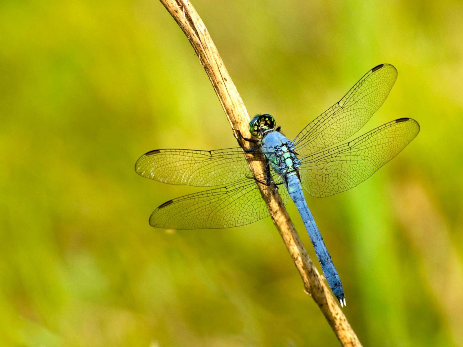 Chuồn chuồn đuôi xanh da trời