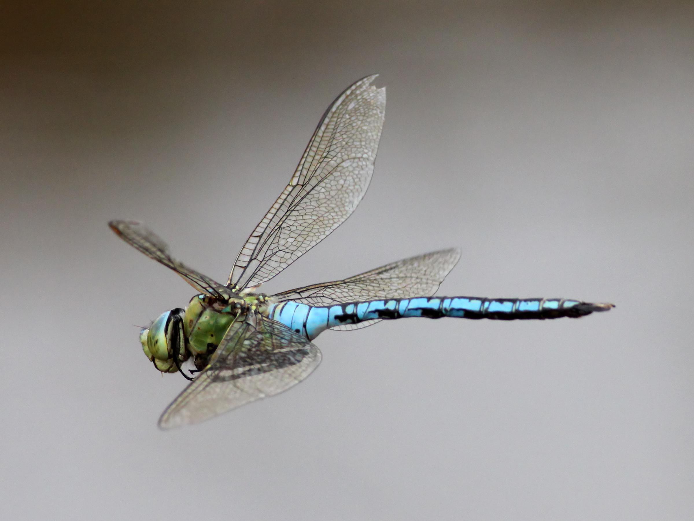 Chuồn chuồn đuôi xanh vỗ cánh bay đi